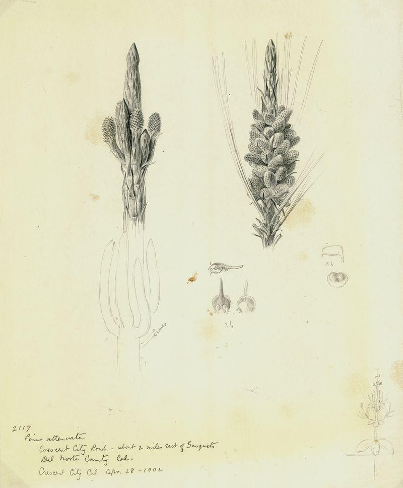 Pinus attenuata_3372