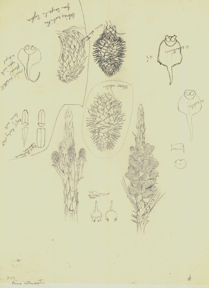 Abies nobilis_Abies shastensis_Pinus attenuata_3373