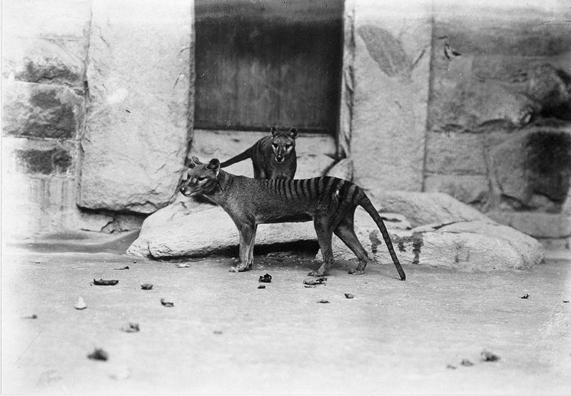 Two of the National Zoo's thylacines, probably the surviving offspring of the original female, outside the Carnivora House, c. 1905. One of these animals (most likely the one in front) is USNM 125345, a specimen recently DNA-sequenced by a team of international scientists. Credit: Photo by E. J. Keller; National Zoological Park.