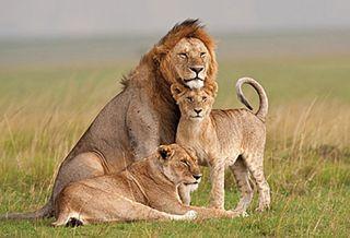 40FedericoVeronesi_HHAfricanWildlife_Lions