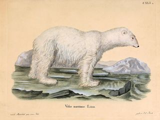 Nature's best bhl polar bear