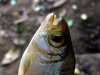 Mexican Tetra (Astyanax fasciatus). Image courtesy of Michael Kesl/BioLib.