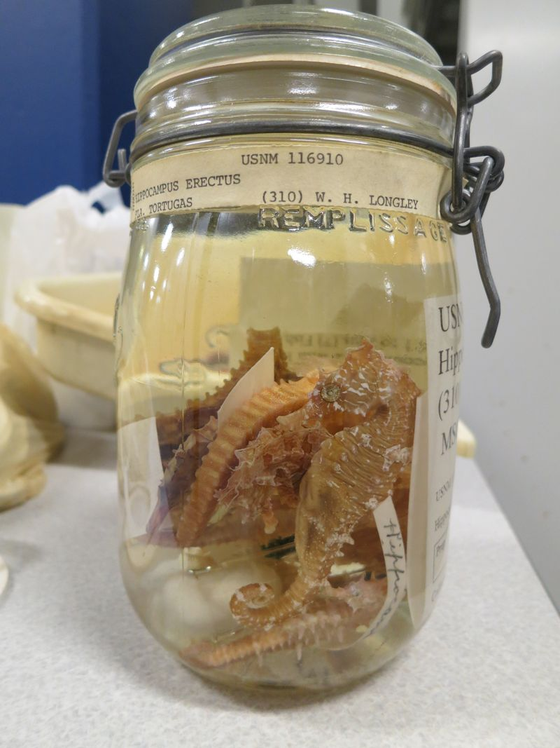 Hippocampus_in_canning_jar