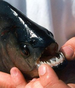 Spotted Piranha (Serrasalmus rhombeus) Courtesy of Thorke A.S. Østergaard/Fish Base