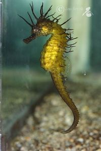 Maned Seahorse -  Public Domain/via BioLib.cz/Jan Ševčík