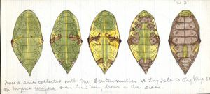 [Specimen Watercolors], [8_10_2012], by [Blair Bailey], [NMNH], [Acc.12-477], [Book 18 insert at pg 555].