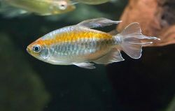 Congo Tetra (Phenacogrammus interruptus). Image courtesy of BioPix.