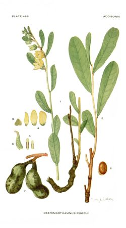 The Florida endemic Asimina rugelii B.L. Rob. was listed as Endangered in 1986 under the name Deeringothamnus rugelii (B.L. Rob.) Small. Illustration from Small, Addisonia 15: pl. 489. 1930.