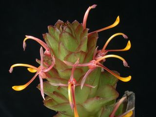 Larsenianthus wardianus W.J. Kress, Thet Htun & Bordelon, one of four new species in this genus of gingers (Zingiberaceae) from Asia. (Photo by Leslie Brothers)