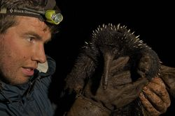 Smithsonian scientist Kristofer Helgen examines a long-beaked echidna in the wild on the island of New Guinea, where a small and declining population of the species is still known to exist. (Photo by Tim Laman)