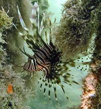 Lionfish hovering among mangrove roots at Twin Cays, Belize.  Photo by Diane Pitassy.