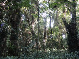 Impression of the natural forest area in the Lae Botanic Gardens. (Photo by Marc Appelhans)