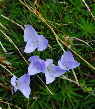 Abolboda acaulis Maguire (Xyridaceae). Photo by K. Wurdack.