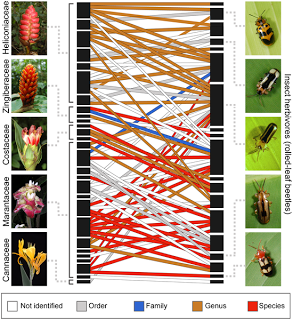 Zingiberales and rolled leaf beetle network reconstructed using DNA barcodes