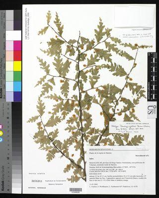Holotype of Dombeya gautieri (Dombeyaceae)