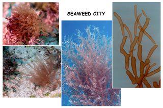 Saba Bank seaweeds (Photo by Diane Littler)