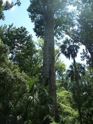 The Big Senator cypress, in Big Tree Park, in Longwood, Florida. Photo by Ebyabe (Own work) [CC-BY-SA-3.0 ], via Wikimedia Commons