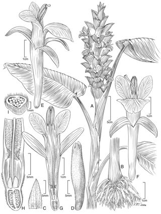 Curcuma arracanensis W.J.Kress & V.Gowda