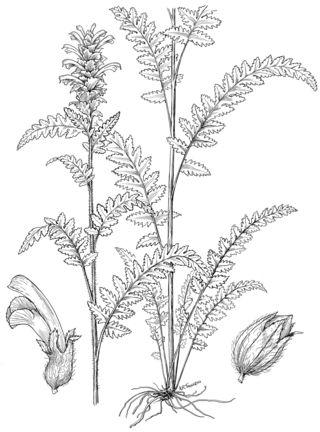 Pedicularis furbishiae S.Watson by Alice Tangerini