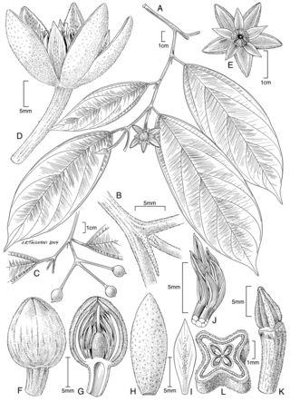 Mortoniodendron uxpanapense by Alice Tangerini