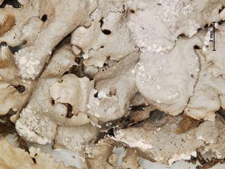 Detail of the rock greenshield lichen, Flavoparmelia baltimorensis (US Barcode 00536547).