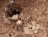 Figure 5:  Tarantula from under rock at Sandy Sanders WMA (photo Steve W. Gotte).