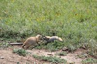 Figure 7:  Baby prairie dogs playing at Wichita Mountains National Wildlife Refuge (photo Steve W. Gotte).