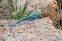Figure 8:  Mountain boomer (OK state lizard) Great Plains State Park (photo Steve W. Gotte).