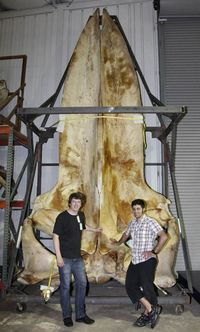 Kristian Gregersen (left) and Abdi Hadayat (right) of the National Zoological Museum, Copenhagen in front of blue whale skul. Photo by John Ososky.