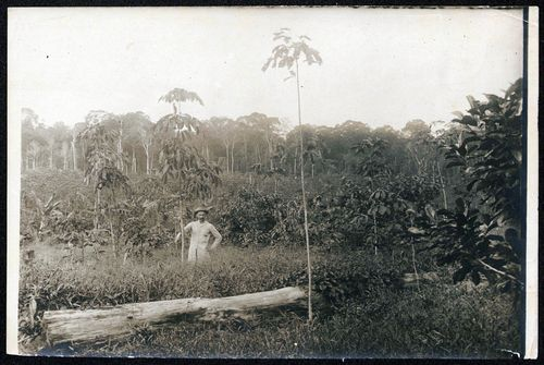 Man standing in a field with grasses and trees, possibly André Goeldi in Brazil. This photograph is included in the field notes of Goeldi and part of a collection that includes 36 black-and-white photographs of specimens. Goeldi was a Brazilian botanist who collected in Pará, Brazil, circa 1913-1920.