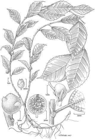 Ficus sangumae Weiblen & Whitfeld (Art by Alice Tangerini)