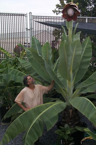 Greenhouse Manager Mike Bordelon examines a specimen of Ensete aff. superbum (Musaceae). (Photo by Leslie Brothers))