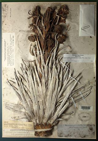holotype of Argyroxiphium macrocephalum (US 59690)