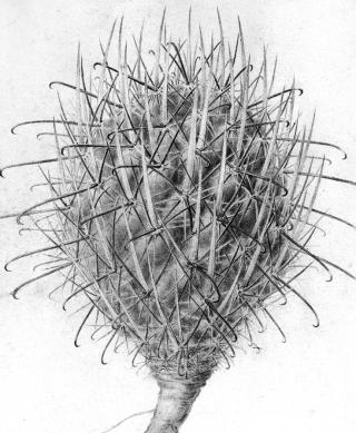 Echinocactus whipplei