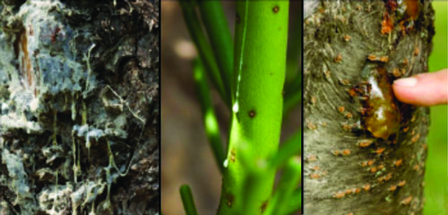 Left panel: Resins from Pinus coulteri D. Don (Pinaceae,). Central panel: Latexes from Euphorbia tirrucali L. (Euphorbiaceae). Right panel: Gums from Prunus sp. (Rosaceae). Images by Roy (Chip) Clark.
