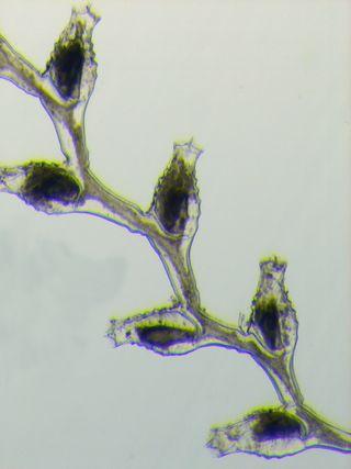 Sertularella robusta