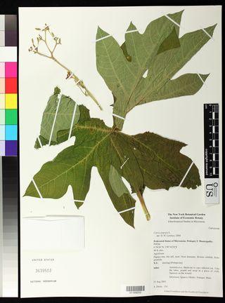 Carica papaya L. (US 3639503)