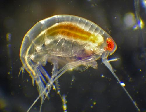 Gammarid Amphipod