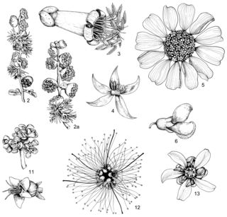 Illustrations of flowers in the genera Ambrosia (2), Fouquieria (3), Krameria (4), Encelia (5), Olneya (6), Simmondsia (11), Calliandra (12), and Larrea (13). Art by Alice Tangerini.