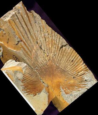 BCR image 13 - Sabalites M1