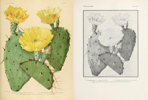 Opuntia atrispina, Opuntia phaeacantha, and Opuntia engelmannii, from Vol. 1.