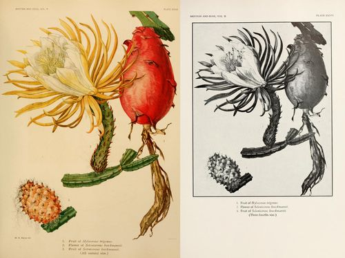 Hylocereus trigonus and Selenicereus boeckmannii, from Vol. 2.