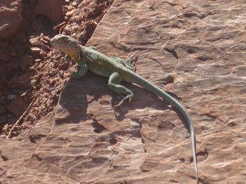 4-29-13 NFPens Lizard2 TX