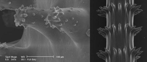 Spines of Whip Black Corals, SEM images