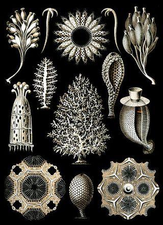 348px-Haeckel_Calcispongiae