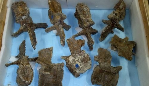 Crated vertebrae