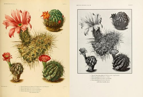 Echinocereus engelmannii, Lobivia corbula, Lobivia lateritia, and Lobivia pentlandii, from Vol. 3.