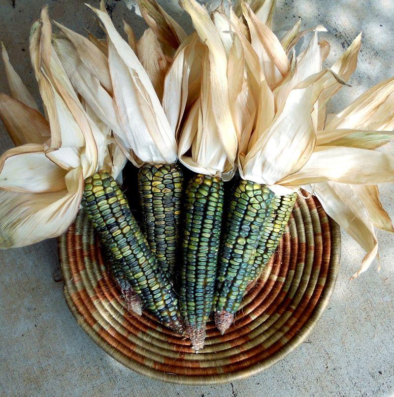 Oaxacan Green Dent Corn 11-3a