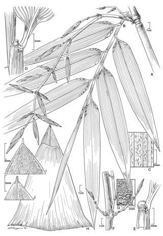 Guadua sarcocarpa Londoño & P.M. Peterson (by Alice Tangerini)