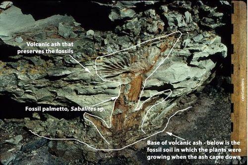 BCR image 2 In situ Sabalites